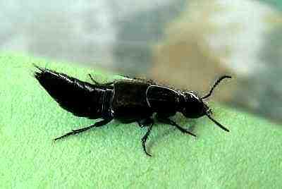 kurzfl gler staphylinidae. Black Bedroom Furniture Sets. Home Design Ideas